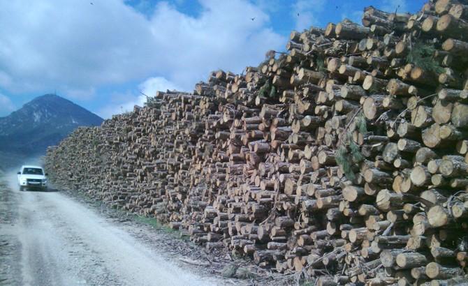 Apea proveniente de clareos en masas de pino laricio