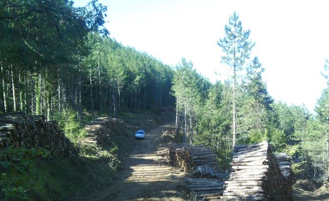 Aprovechamiento forestal en masas de pino laricio y pilas listas para desembosque. 2015