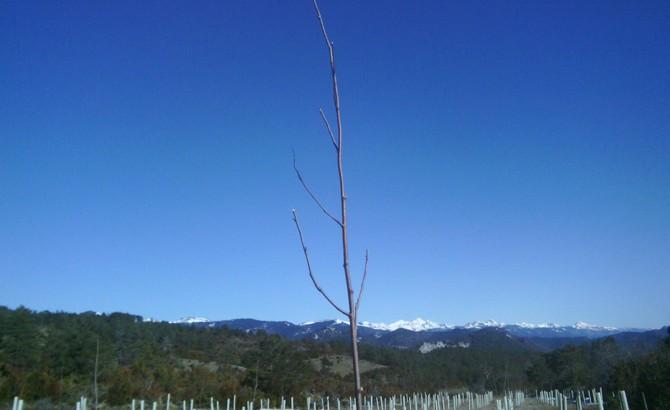 Detalle de tallas de formación en plantación de frondosas. Izal 2013